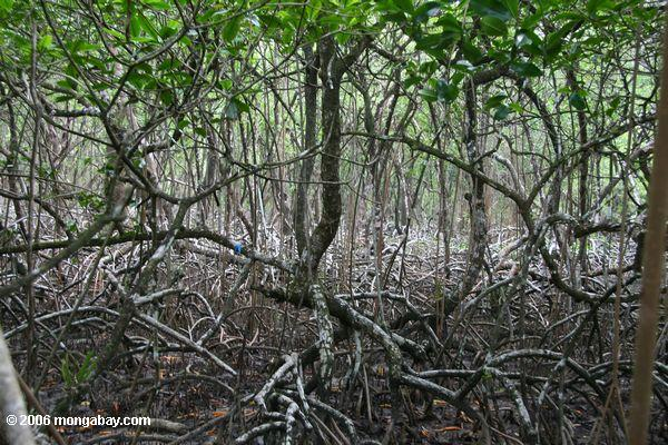 Mangroves provide many ecosystem services like controling erosion and mitigating the effects of tsunamis. Photo by Rhett A. Butler.