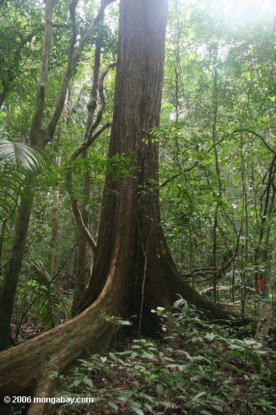 Buttress root of a canopy tree in the rainforest of Barro Colorado Island