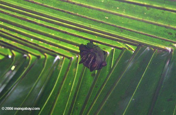 Tent-making bat in a folded palm fron