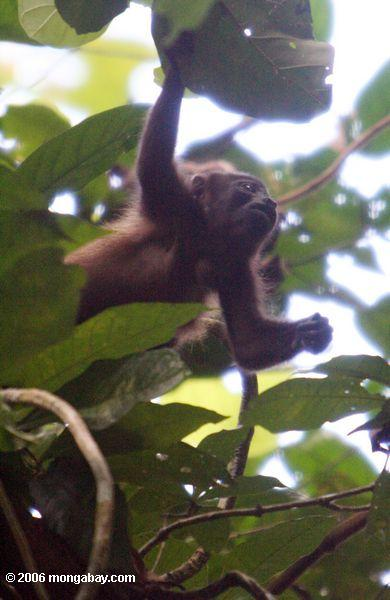 Macaco Mantled do Howler