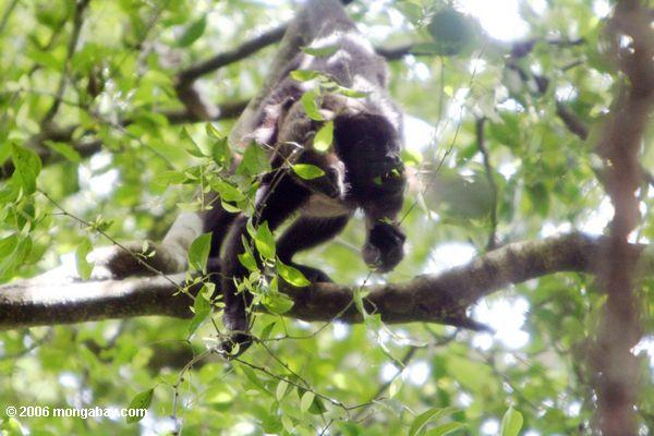 Mother mantled howler monkey feeding ith offspring