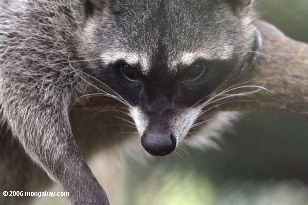 Up-close with a crab-eating raccoon