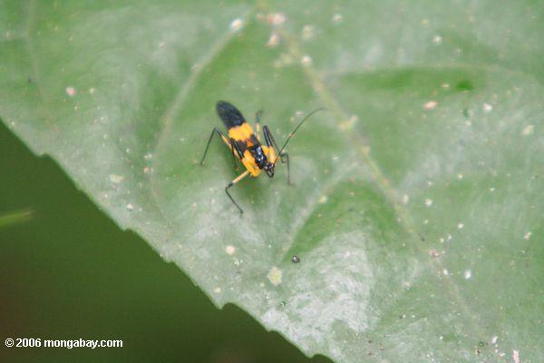 Yellow and black insect