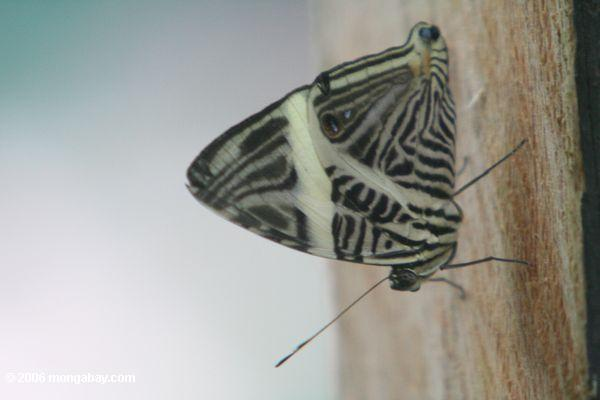 Mosiac butterfly (Colobura dirce) feeding on fruit [pan02-2053]