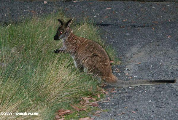 Wallaby on Cradle mountain