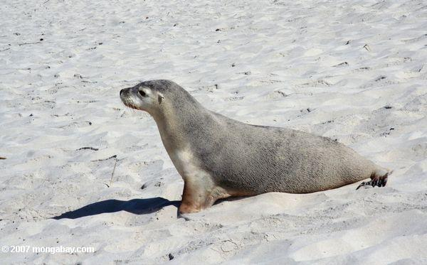 Australian Sea Lion on the beach at Seal Bay Conservation Park on Kangaroo Island