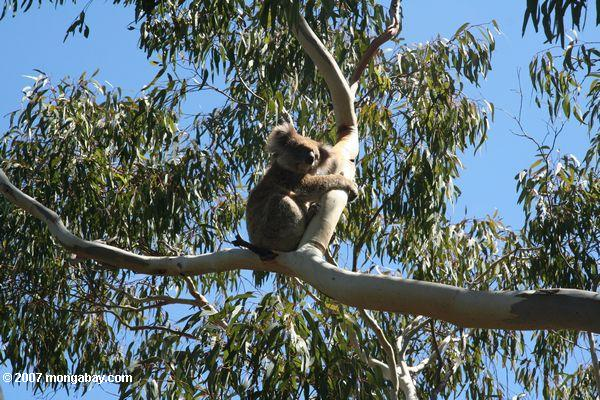 photo koala dans un arbre d 39 eucalyptus. Black Bedroom Furniture Sets. Home Design Ideas