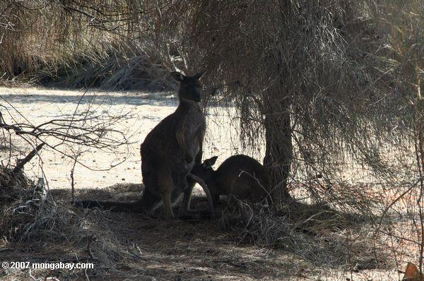 Tammar wallabies, male and female