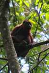 Red howler monkey