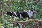 Gray-winged Trumpeters (Psophia crepitans)