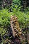 Sugar cane stalks in a cassava field