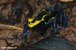 Yellow and blue dyeing poison dart frog