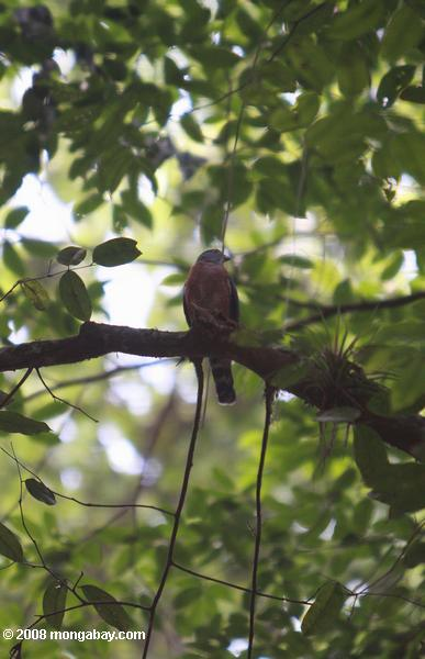 Double-toothed Kite (Harpagus bidentatus)