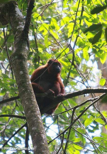 Red howler monkey [suriname_0277]