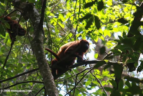 Red howler monkey [suriname_0282]