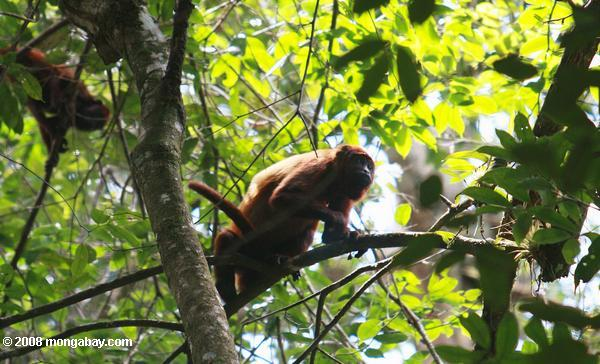 Red howler monkey [suriname_0282a]