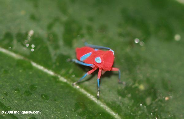 Hot pink insect with turquoise feet and eyes