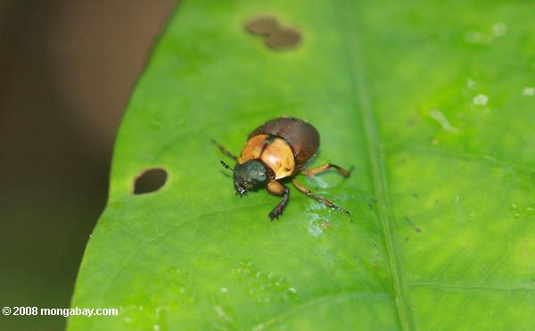 Olive green, orange, and brown beetle [suriname_0720]