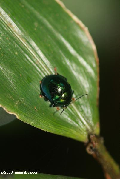 Dark green beetle