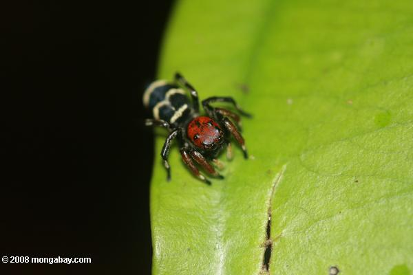 Red-headed spider with yellow and black markings