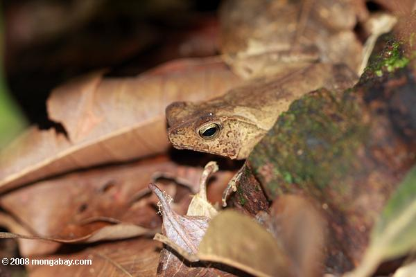 Leaf toad (Bufo species?)