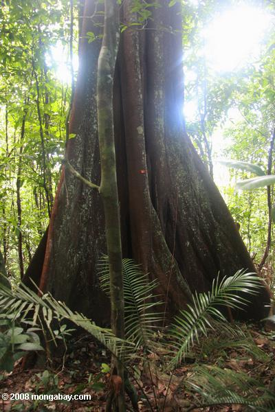 Canopy tree with buttress roots