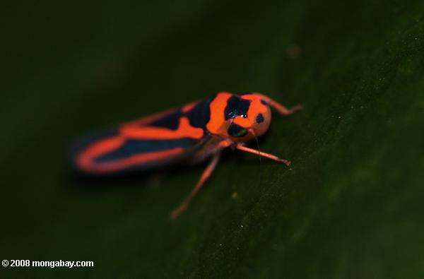 Unknown orange and black leafhopper