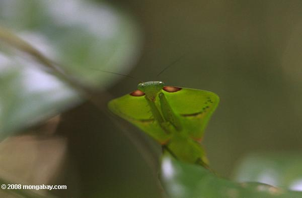 Leaf-mimicking praying mantis [suriname_0999b]