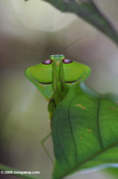 Leaf-mimicking praying mantis