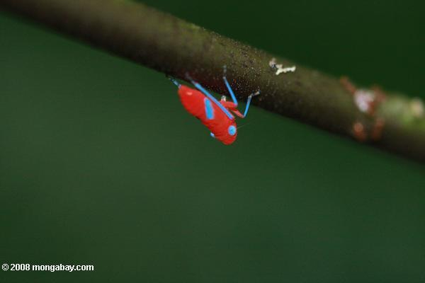 Hot pink and turquoise leafhopper nymph (insect)