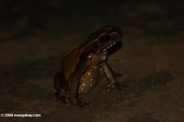 Bufo guttatus (Smooth-sided toad) [suriname_1307]