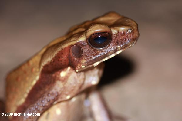 Bufo guttatus (Smooth-sided toad) [suriname_1317]