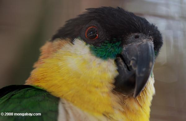 Black-headed parrot (Pionites melanocephala)
