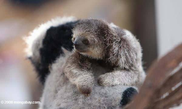 Baby three-toed sloth hugging a stuffed panda in a Trio indigenous community