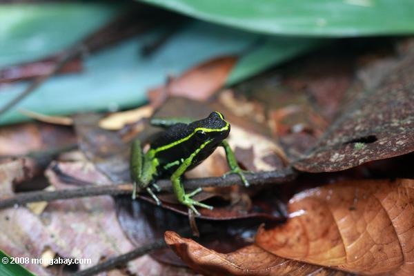 Three-striped posion dart frog (Epipedobates trivittatus)