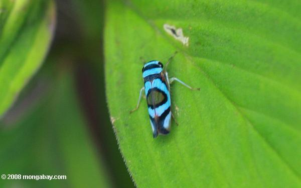 Blue and black insect [suriname_2235]