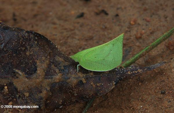 Leaf-mimicking insect