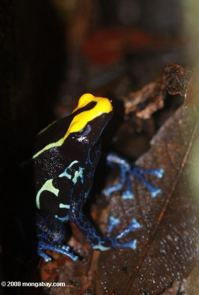 Yellow and blue poison dyeing dart frog guarding its nest