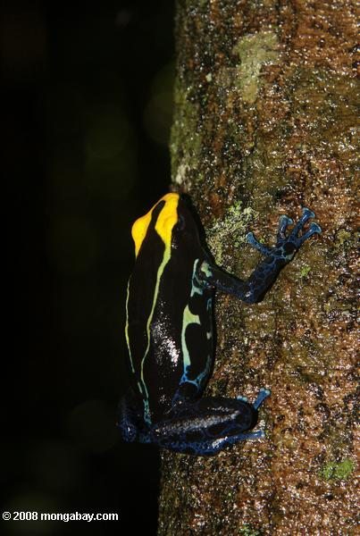Yellow and blue poison arrow frog climbing a tree trunk [suriname_2512]