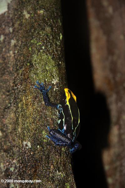 Yellow and blue poison arrow frog climbing a tree trunk [suriname_2514]