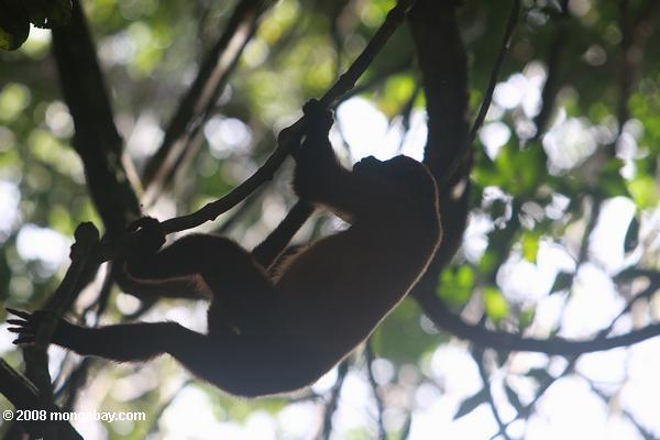 Red howler monkey silhouetted in the canopy