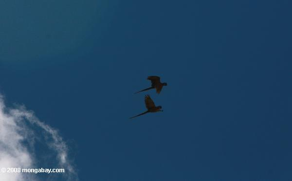 Blue-and-yellow macaws in flight [suriname_2628]