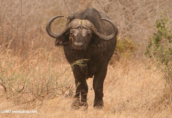 African buffalo are a common target for bushmeat in Tanzania. Photo by: Rhett A. Butler.