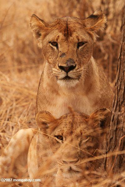 Lions in Tanzania will be impacted by a decline in prey if the Serengeti road hurts the migration. Photo by: Rhett A. Butler.