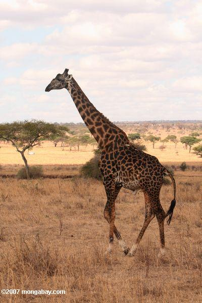 Giraffe in Tanzania. Photo by: Rhett A. Butler.