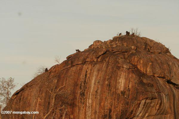 baboons вершине скалы outcropping