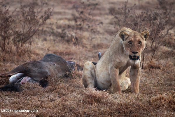 Female lion with wildebeest kill in Tanzania. Photo by: Rhett A. Butler.