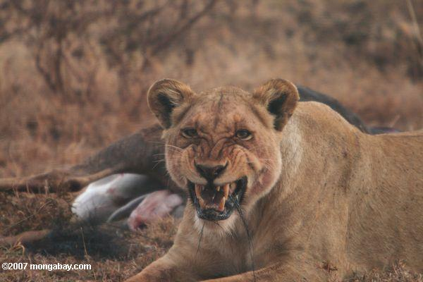Lioness defends wildebeest kill in Tanzania. Photo by: Rhett A. Butler.