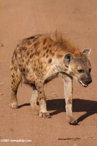 Hyena in Tanzania. Photo by: Rhett A. Butler.