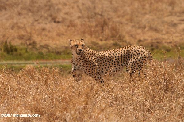 Cheetah (Acinonyx jubatus) in the Ngorongoro Crater